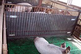 リプラウッドパネル 豚舎使用例
